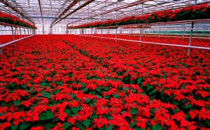 greenhouse full of bright red poinsettia